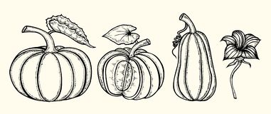 Hand drawn pumpkin. Set of Hand drawn pumpkin. Vector illustration on white background royalty free illustration