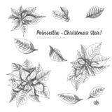 Set of hand drawn sketch Christmas poinsettia flowers. Vintage style. Traditional christmas decoration. For design holiday card, royalty free illustration