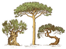 Set of hand drawn trees italian cypress and stone pine , pinea, olive  vector illustration, engraved symbols of Royalty Free Stock Photo