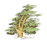 Set of hand drawn trees italian cypress and stone pine , pinea, olive vector illustration, engraved symbols of. South, evergreen vector illustration
