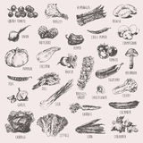 Set of hand drawn vegetables high detailed sketch Royalty Free Stock Image
