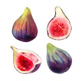 Set of hand drawn watercolour purple fig fruits and green leaves isolated on a white background. Illustration of bright