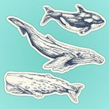 Set of hand drawn whales. whales stickers set: humpback, sperm whale, killer whale royalty free illustration