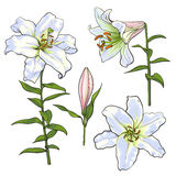 Set of hand drawn white lily flowers, side, top view Stock Image