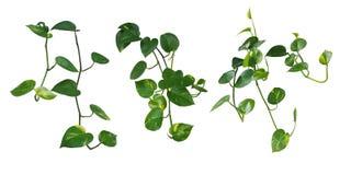 Set of hanging heart-shaped leaves vine, devil`s ivy, golden pot