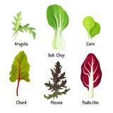 Set of healthy edible herbs green arugula, bok choy, corn. Leaves, organic chard, mizuna and radicchio chicory vector illustration isolated on white Stock Image