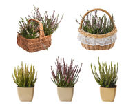 Set heathers in pots and baskets Stock Photography