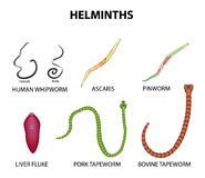 A set of helminths. roundworm, Ascaris, pinworms, bovine tapeworm, pork tapeworm, Whipworm, liver fluke. Infographics. Vector Royalty Free Stock Photos