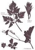Set Herbarium of grass leaf Stock Photography