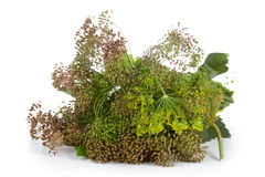 Set of herbs for preserving vegetables Stock Image