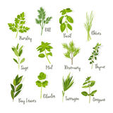Set of herbs  Royalty Free Stock Photo