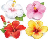 Set of Hibiscus Royalty Free Stock Image