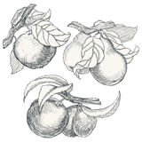 Set of highly detailed hand drawn fruit. Collection of highly detailed hand drawn garden fruit Royalty Free Stock Photos