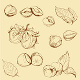 Set of highly detailed hand drawn hazelnuts Stock Photo