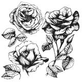 Set of highly detailed hand-drawn roses. Royalty Free Stock Photography