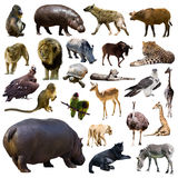Set of hippo and other African animals. Isolated. On white background stock photos