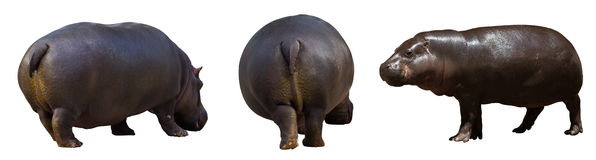 Set of hippopotamus. Isolated over white royalty free stock images