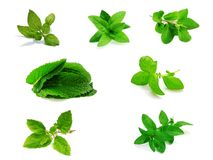 Set of Holi Basil or Tulsi Leaves Stock Photos