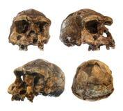 Set Homo erectus czaszka Odkrywający w 1969 w Sangiran, Jawa, Indonezja Datujący 1 milion rok temu przód strona Ob Obrazy Stock