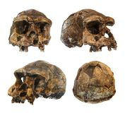 Set of erectus skull . Discovered in 1969 in Sangiran , Java , Indonesia . Dated to 1 million years ago . front . side . ob stock images