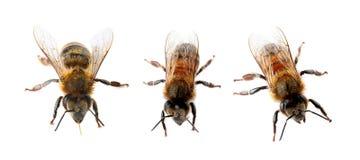 Set with honey bees. On white background royalty free stock image