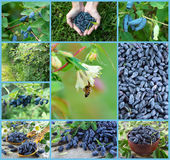 Set with honeysuckle berries Stock Photo