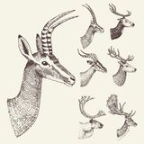 Set of Horn, antlers Animals moose or elk with impala, gazelle and greater kudu, fallow deer reindeer and stag, doe or. Roe deer, axis and dibatag hand drawn Stock Image