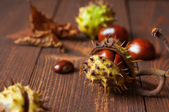 The set of horse chestnuts Royalty Free Stock Image