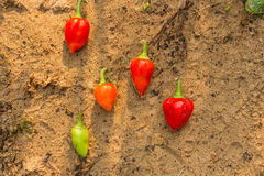 A set of hot peppers. Stock Photo