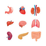 A set of human anatomy organs, in medical science. Human organs anatomy: heart, liver, brain, kidneys, lungs, stomach spleen pancreas intestine Vector Stock Photography