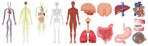 Set of human anatomy and systems stock illustration