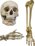 Set of human bones  on white Stock Photo