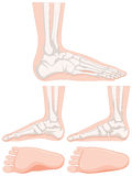 Set of human foot bone Stock Images