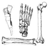 Set of human leg bones with foot. Hand drawn vector illustration. Isolated on white royalty free illustration