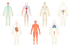 Set of human organs and systems Stock Image
