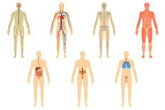 Set of human organs and systems Royalty Free Stock Image
