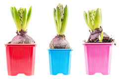 Set hyacinths. Set of three blossoming hyacinth, isolated Royalty Free Stock Image
