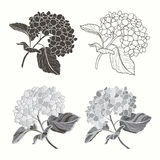 Set of hydrangeas  isolated on white background. Hand drawn vect Stock Images
