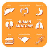 Set icons with shadow. Human anatomy. Set icons with shadow. Human organs and cell Stock Photos