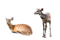 Set of image deer Royalty Free Stock Photography