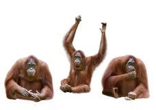 Set of image orangutan Stock Images