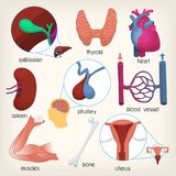 Human body organs. Part 2. Set of images of main human body organs. Accurate illustrations with names. Isolated vector images for medical infographics and Stock Photo