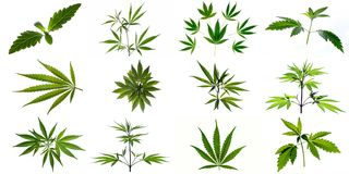 A set of images of plants and leaves of marijuana. stock photo