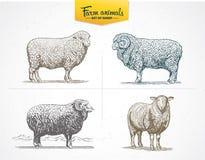 Set images of sheep. Stock Photos