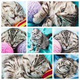 Set of images of a small Scottish Fold Kitten Stock Photo
