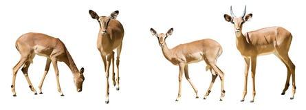 Set of impalas Royalty Free Stock Photography