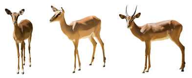 Set of impalas Royalty Free Stock Photos