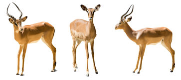 Set of impalas.  Isolated on white Stock Image