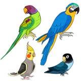 Set Indian ringed parrot ozherelovy, Masked Lovebird, corella,   Royalty Free Stock Image