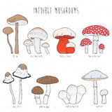 Set of inedible mushrooms with titles on white background. Hand drawn vector colorful illustration collection. Set of inedible mushrooms with titles on white Royalty Free Stock Photography